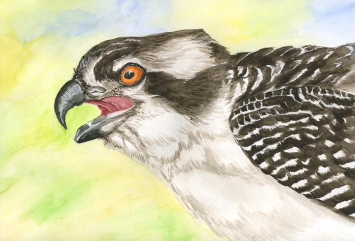 osprey_in_watercolor_by_thalathis-d57q8mg